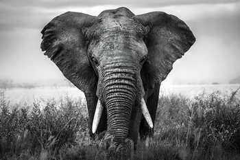 Quadri in vetro Elephant - Nature b&w