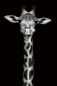 Quadri in vetro Giraffe - Head b&w