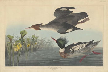 Red-breasted Merganser, 1838 Festmény reprodukció