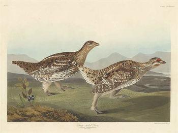 Sharp-tailed Grous, 1837 Festmény reprodukció