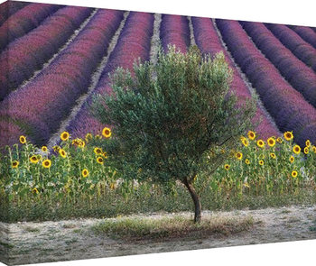 Stampa su Tela  David Clapp - Olive Tree in Provence, France