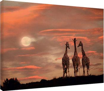 Stampa su Tela Marina Cano - Moonrise Giraffes