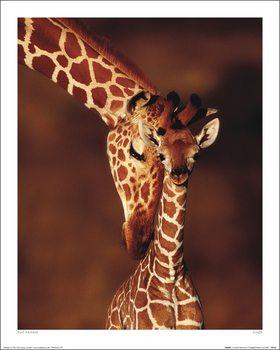 Karl Ammann - Giraffe - Stampe d'arte