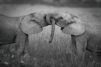 Szklany obraz Elephants - Love