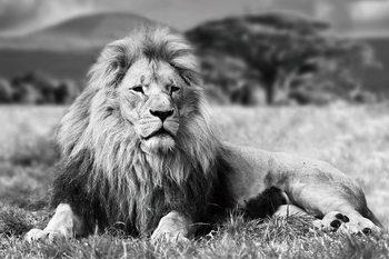 Szklany obraz Lion - Lying b&w
