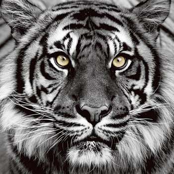 Szklany obraz Tiger - Yellow Eyes b&w