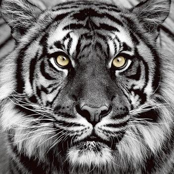 Tableau sur verre Tiger - Yellow Eyes b&w
