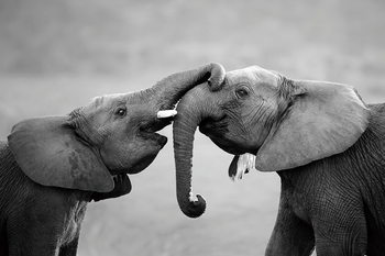 Tablouri pe sticla Elephant - Friends