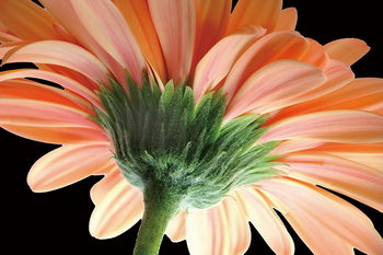 Tablouri pe sticla Gerbera - Orange