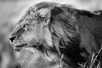 Tablouri pe sticla Lion - Black and White Lion