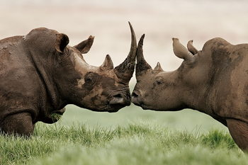 Tablouri pe sticla Rhino - Love
