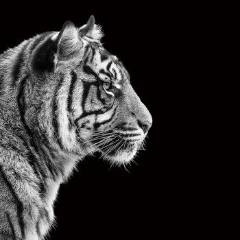 Tablouri pe sticla Tiger - Head b&w