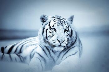 Tablouri pe sticla Tiger - White Tiger