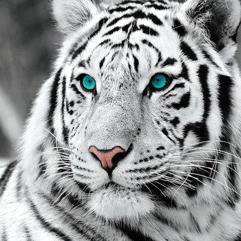 Tablouri pe sticla White Tiger - Blue Eyes b&w