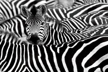 Tablouri pe sticla Zebra - Many Zebras