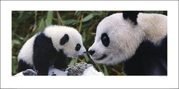 Panda - Steve Bloom Reprodukcija