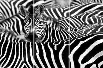 Üvegkép Zebra - Many Zebras