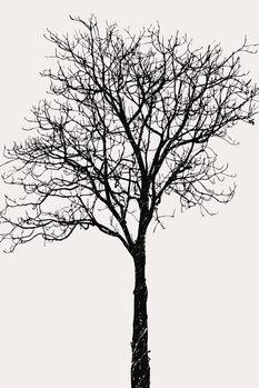 Ilustracija Black Birch