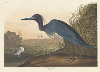 Blue Crane or Heron, 1836 Reprodukcija umjetnosti