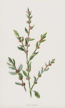 Knot-Grass Reprodukcija umjetnosti