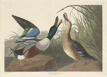 Shoveller Duck, 1836 Reprodukcija umjetnosti