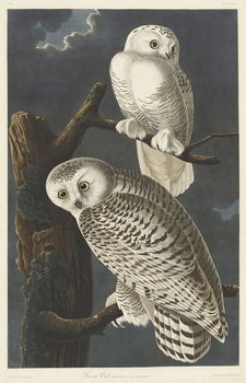 Vászonkép Snowy Owl, 1831