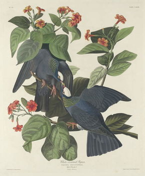 White-crowned Pigeon, 1833 Festmény reprodukció