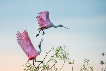 xудожня фотографія Rosy pair (Roseate Spoonbills)