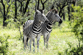 xудожня фотографія Two Burchell's Zebra