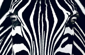 Zebra - Black & White