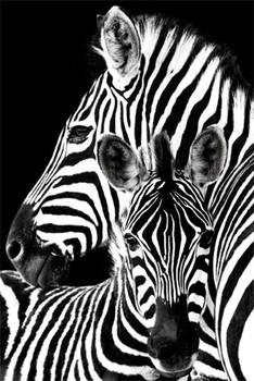 Zebra - плакат (poster)