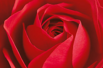 L´IMPORTANT C´EST LA ROSE Фото-тапети