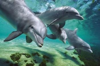 Dolphins underwater плакат