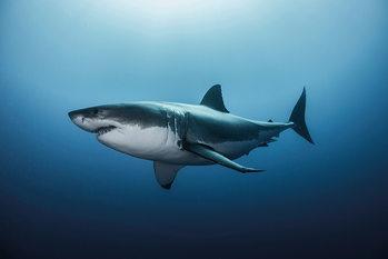 Great White Shark - плакат
