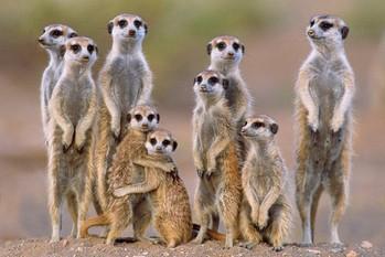 Meerkats - family - плакат