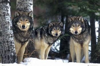 Wolves - 3 wolves - плакат