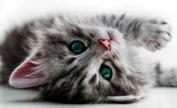 Cat Kitten Fotobehang