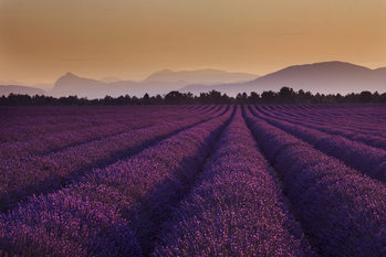 Lavendel - Lavender Fields Fotobehang