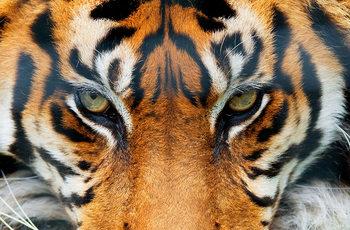 Tiger Fototapet
