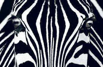 Zebra - Black & White Fototapet