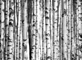 Der Wald - Birches Fototapete