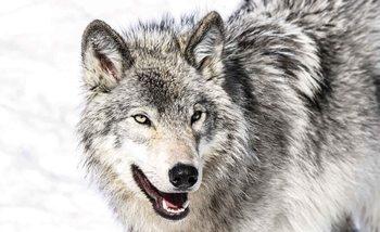 Wolf Tier Fototapete