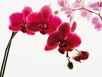 Orkidé - Blossoms Fototapet