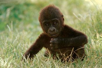 Plagát Gorilla baby