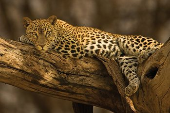 Plagát Leopard - tree