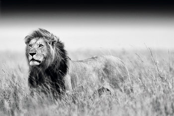 Plagát Lion - Black & White