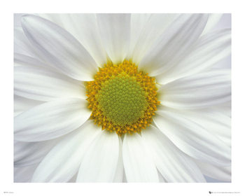 Blomster - Marguerit 2 Plakat