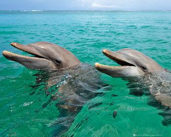 Delfin - Laughing Plakat