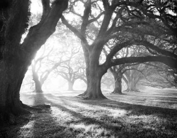 OAK ALLEY, LIGHT AND SHADOWS Kunsttryk