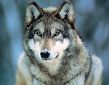 Grey wolf Plakat